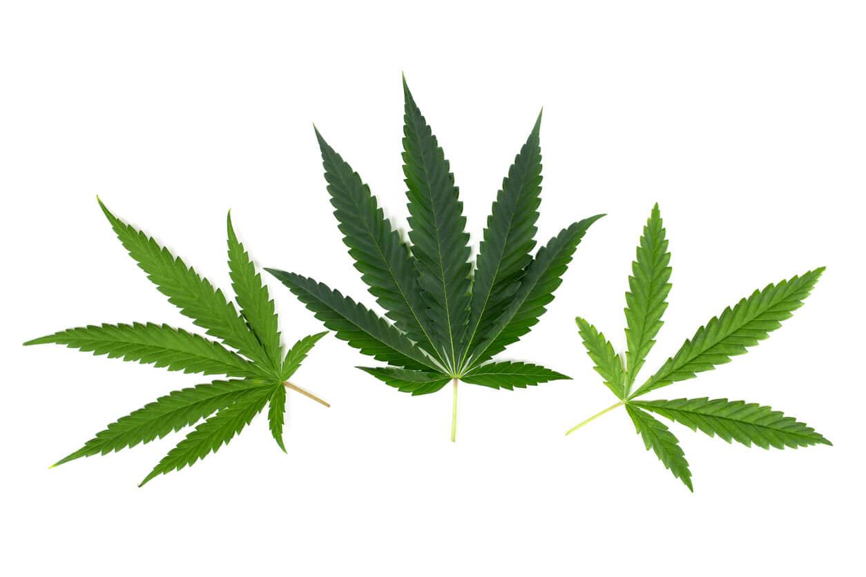 Hemp and marijuana cannabis leaves
